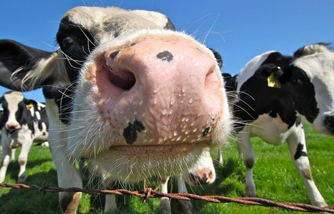 A healthy cow that has an adequate sodium level will display a 'dewy muzzle' just like this cow.